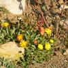 Foto: Chasmatophyllum