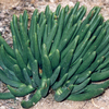 Foto: Cylindrophyllum comptonii