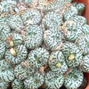 Foto: Conophytum obcordellum