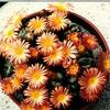 Foto: Conophytum calitzdorpense