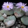Foto: Conophytum wettsteinii