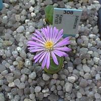 Foto: Ophthalmophyllum longum