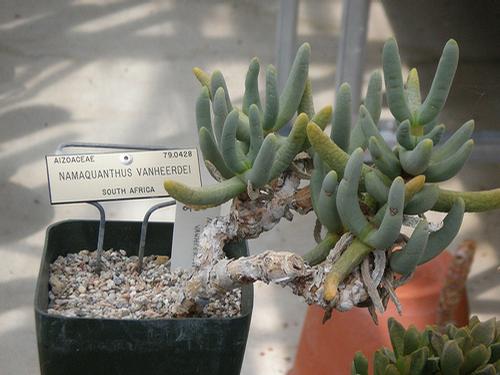 Foto: Namaquanthus vanheerdei