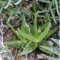 Foto: Mitrophyllum dissitum