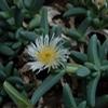 Foto: Machairophyllum acuminatum
