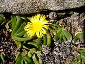 Foto: Glottiphyllum nelii