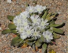 Foto: Gibbaeum velutinum