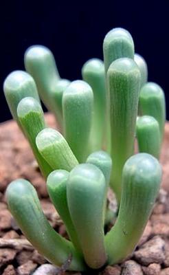 Foto: Fenestraria aurantiaca