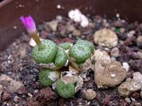 Foto: Conophytum obscurum