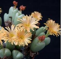 Foto: Conophytum frutescens