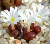 Foto: Conophytum pellucidum