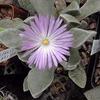 Foto: Cerochlamys pachyphylla