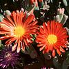 Foto: Astridia longifolia