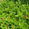 Foto: Aptenia cordifolia