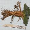 Foto: Aloinopsis peersii