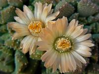 Foto: Aloinopsis luckhoffii