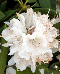 Foto: Rododendron ´boule de neige´