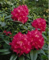 Foto: Rododendron ´berliner liebe´