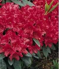 Foto: Rododendron ´blinklicht´
