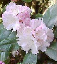 Foto: Rododendron vernicosum
