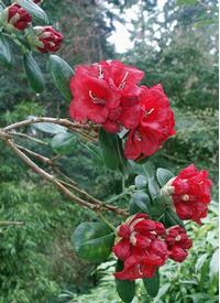Foto: Rododendron thomsonii