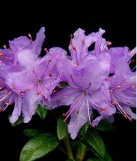 Foto: Rododendron tapetiforme