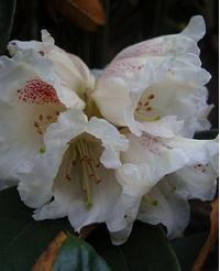 Foto: Rododendron taliense