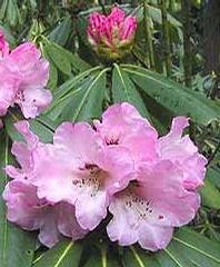 Foto: Rododendron sutchuenense