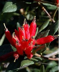 Foto: Rododendron spinuliferum