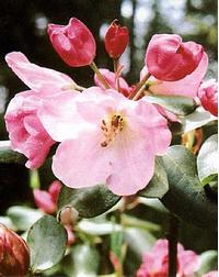 Foto: Rododendron souliei