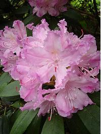 Foto: Rododendron smirnowii