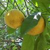 Foto: Citroník rajský