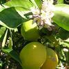 Foto: Citroník limonový