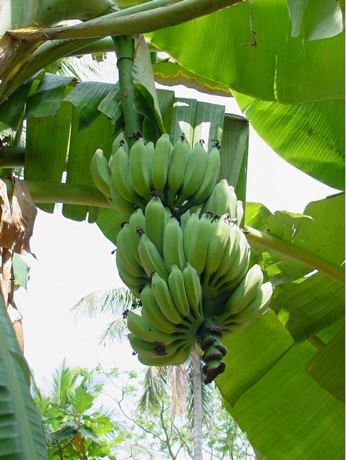 Foto: Banánovník rajský