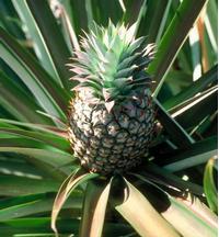 Foto: Ananasovník chocholatý
