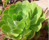 Foto: Aeonium kanárské