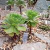 Foto: Aeonium palmenské