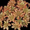 Foto: Aeonium rozchodníkolisté
