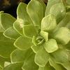 Foto: Aeonium kopišťovité