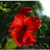 Foto: Ibišek čínská růže