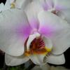 Foto: Falenopsis líbezná