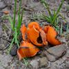 Foto: Mísenka oranžová