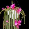 Foto: Aporocactus flagelliformis